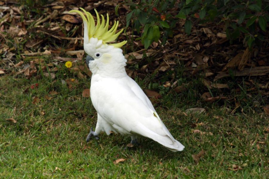 cockatoo-3